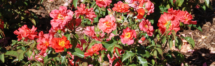 What-to-Remove-When-Pruning-Roses.jpg