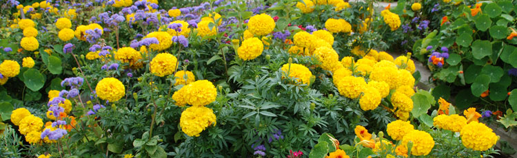 020419_Low_Maintenance_Budget_Wise_Marigolds.jpg