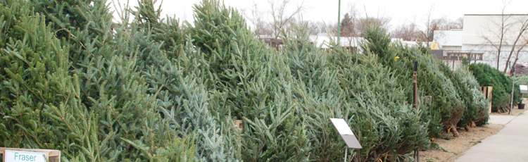121216_Fraser_Fir_The_Number_One_Selling_Christmas_Tree.jpg