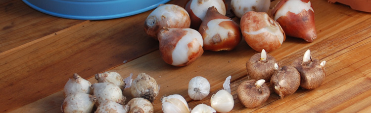 100915_Planting_Bulbs_Right_Side_Up.jpg