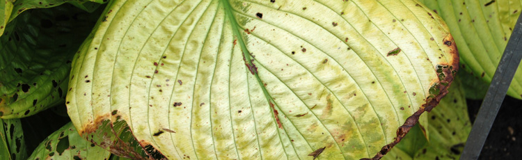 Leaf Browning Scorch On Hostas And Other Shade Plants Melinda Myers