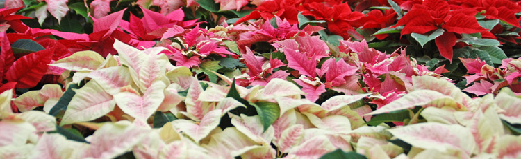 2012_298_MGM_Post_Christmas_Post_Holiday_Care_for_your_Poinsettia.jpg