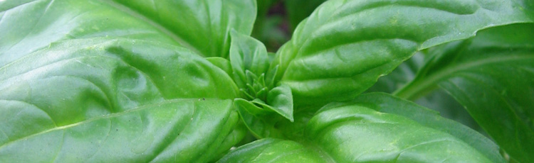 010518_Growing_Basil_Indoors-THUMB.jpg
