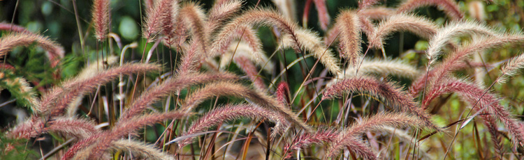 Keeping-Fountain-Grass-Alive-Over-Winter-THUMB.jpg