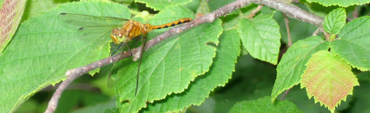 082714_Dragon_and_Damselflies_Natures_Prehistoric_Insect_Hunters.jpg