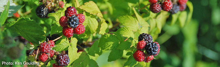 Increase-the-Raspberry-Harvest-THUMB.jpg