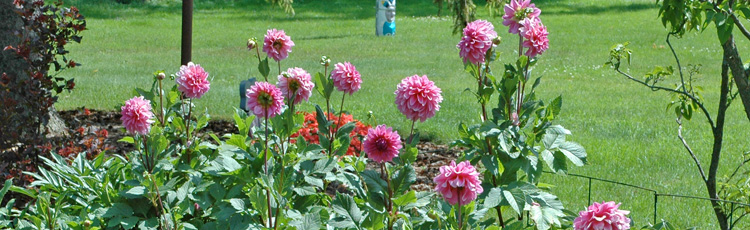 2013_520_MGM_Creative_Staking_for_Glads_Dahlias_and_Iris.jpg