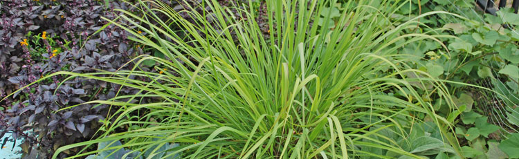 061818_Lemon_Grass_Cymbopogon_citratus.jpg