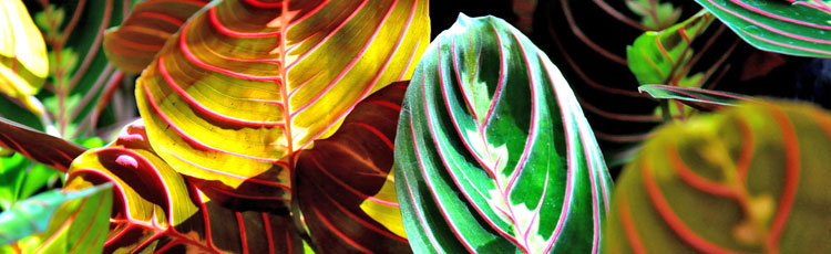 032719_Growing_Prayer_Plant_Maranta_Houseplant-THUMB.jpg
