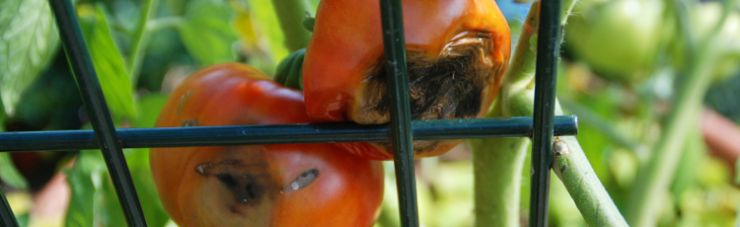 Black bottoms on tomatoes